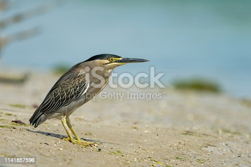Striated heron (Butorides striata) also known as mangrove heron, little heron or green-backed heron, is a small heron, about 44 cm tall. This bird is on the banks of the Eastern Mangroves in Abu Dhabi, UAE