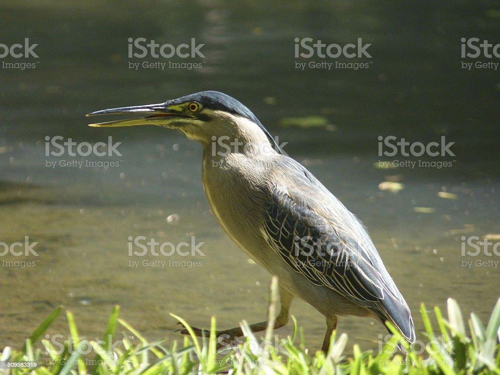 Striated Heron stock photo