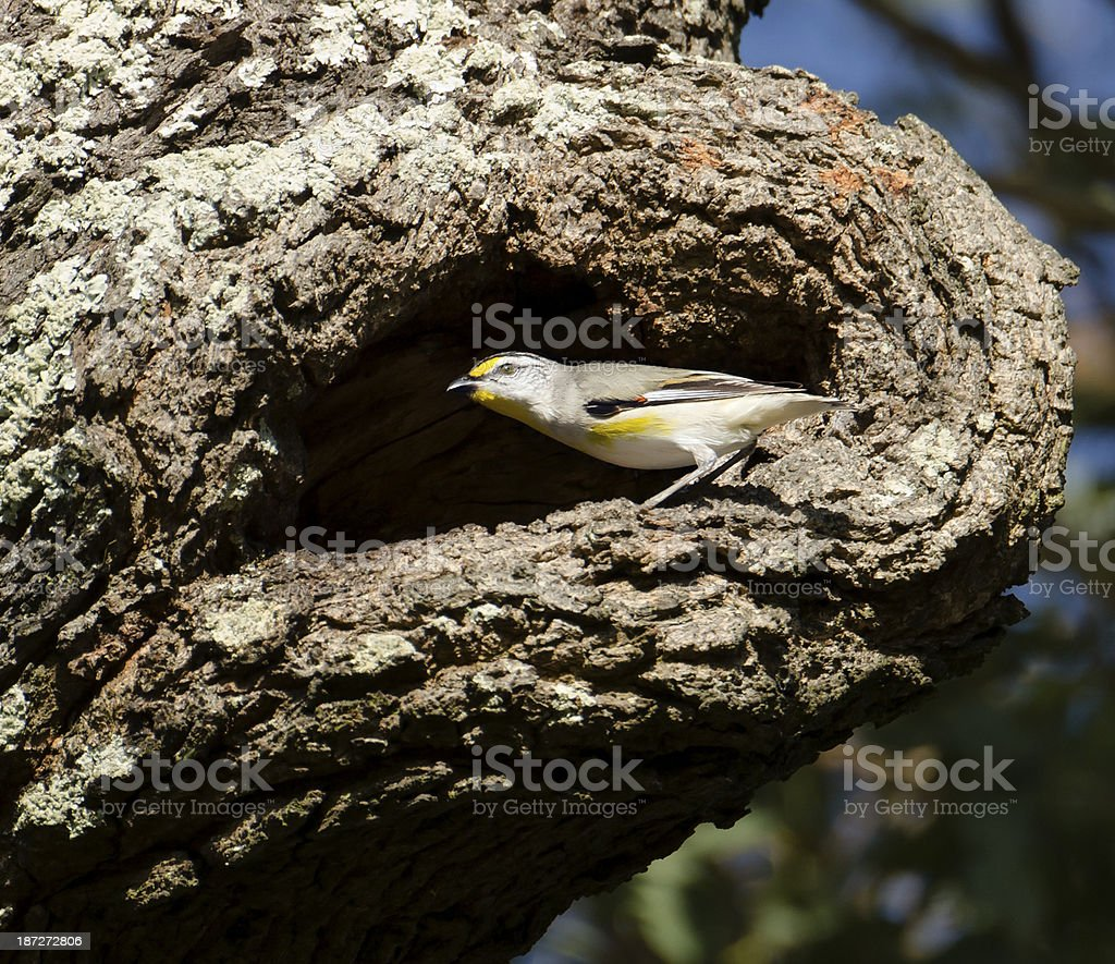 Striated pardalote at nest entrance stock photo
