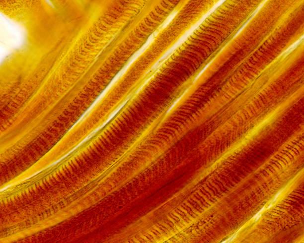 fibras del músculo esqueléticas estriadas. método de plata - músculo humano fotografías e imágenes de stock