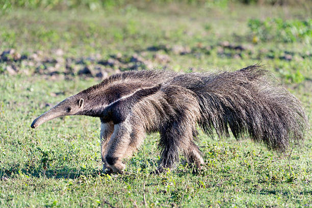 Striding Giant Anteater The giant anteater (Myrmecophaga tridactyla) is a spectacular creature specially adapted for eating ants and termites, with a long snout, a very long, sticky tongue, three sharp claws on its front feet for ripping open ant and termite nests, and a keen sense of smell for finding them. It walks on its front knuckles to keep its claws out of the way.  It is widely distribute from southern Mexico throughout much of lowland South America, but is listed as Vulnerable on the IUCN Red List due to habitat loss and persecution by man. This individual is in the Pantanal, Mato Grosso State, Brazil. Giant Anteater stock pictures, royalty-free photos & images
