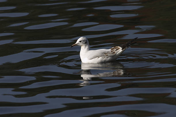 immature black-headed gull larus ridibundus on inky blue water - whiteway stock photos and pictures