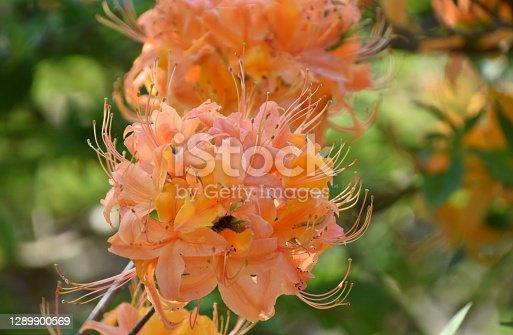Orange azalea bush with stunning flowering blossoms.