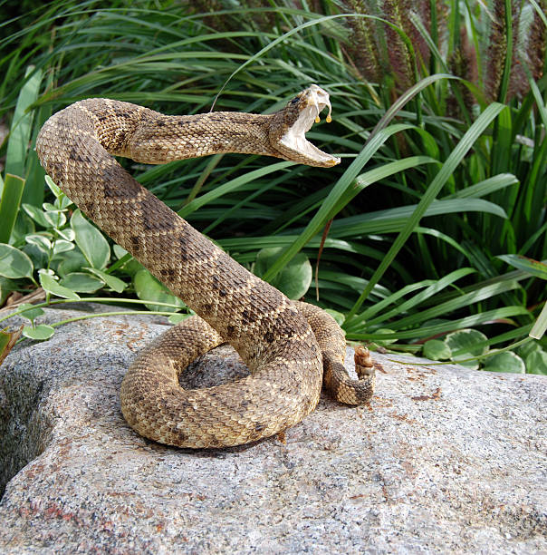 Striking Pose Rattle snake coiled on rock. fang stock pictures, royalty-free photos & images