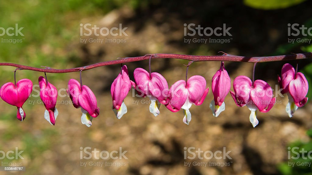 String of Bleeding Hearts Hanging From a Vine stock photo