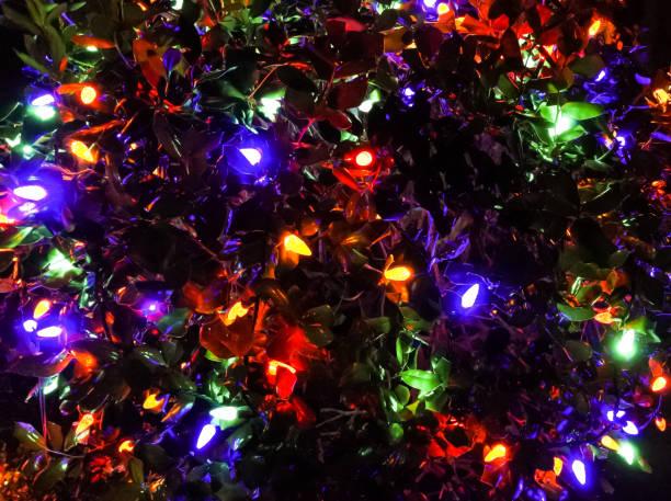 Christmas Bush Lights.String Of Christmas Lights On A Bush Stock Photo More