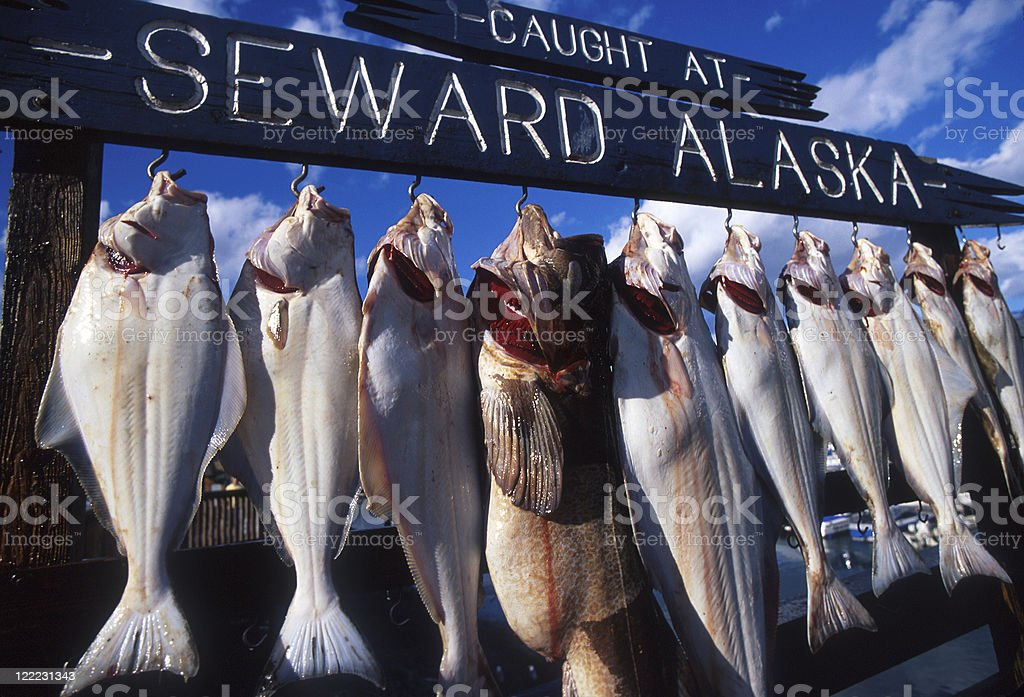 String of fresh fish hanging on a line in Alaska royalty-free stock photo
