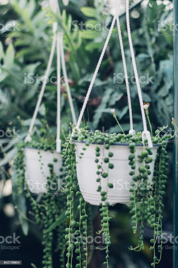 string of pearls succulent plant hanging in a greenhouse, symbolizing calm and serenity stock photo