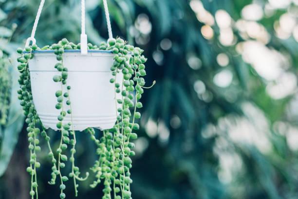 dize bir serada, sakin ve huzur simgeleyen asılı inci etli bitki - sicim stok fotoğraflar ve resimler
