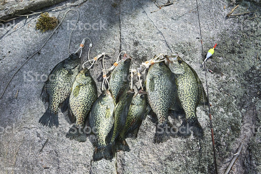 Stringer of Huge Slab Crappies stock photo