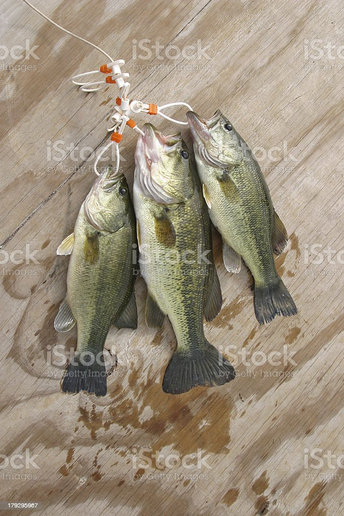 Stringer of Largemouth Bass royalty-free stock photo