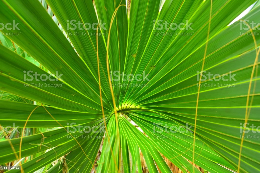 Stringy threads hanging from Cabbage Palm frond with expanding fingers stock photo