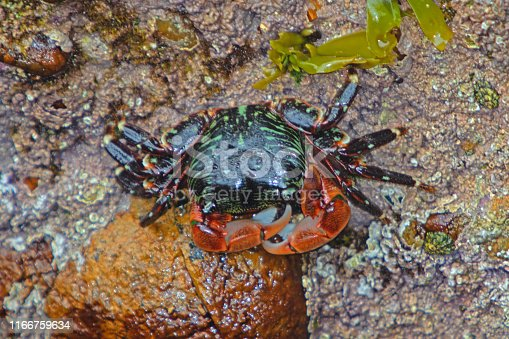 stripeshores crab at Point Lobos beach, Carmel CA