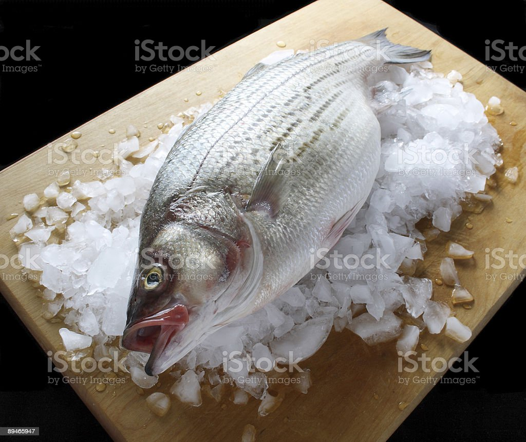 striped bass 2 royalty-free stock photo
