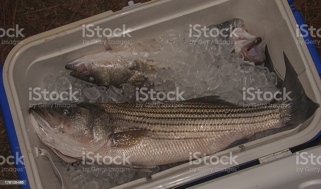 Striped Bass in Ice Chest stock photo