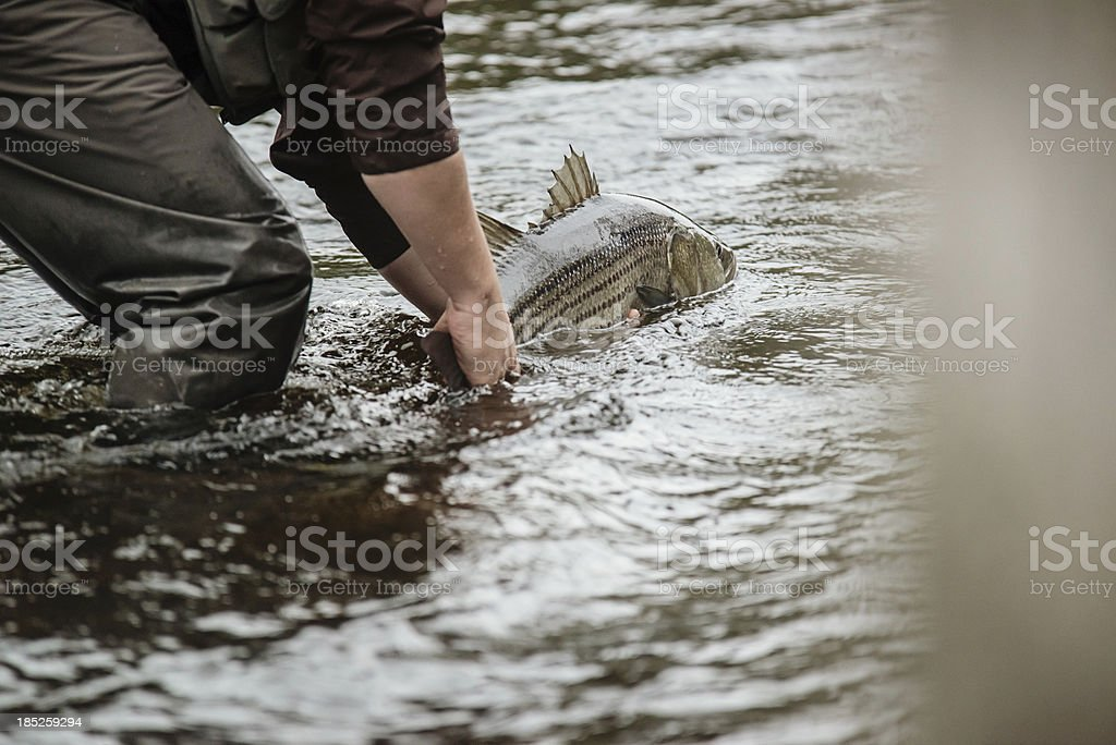 Striped Bass royalty-free stock photo