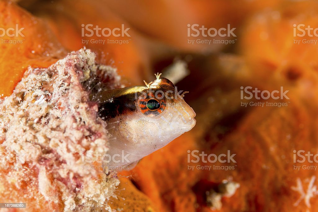 striped blenny - parablennius rouxi royalty-free stock photo