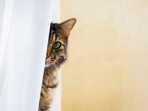 Striped cat lies behind the curtains on the windowsill