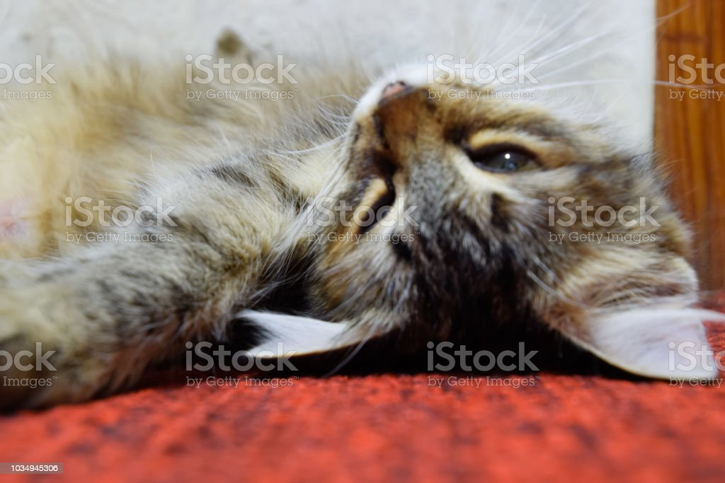A striped cat lies on the carpet. Domestic cat