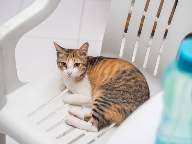 Striped Cat Resting on Chair stock photo