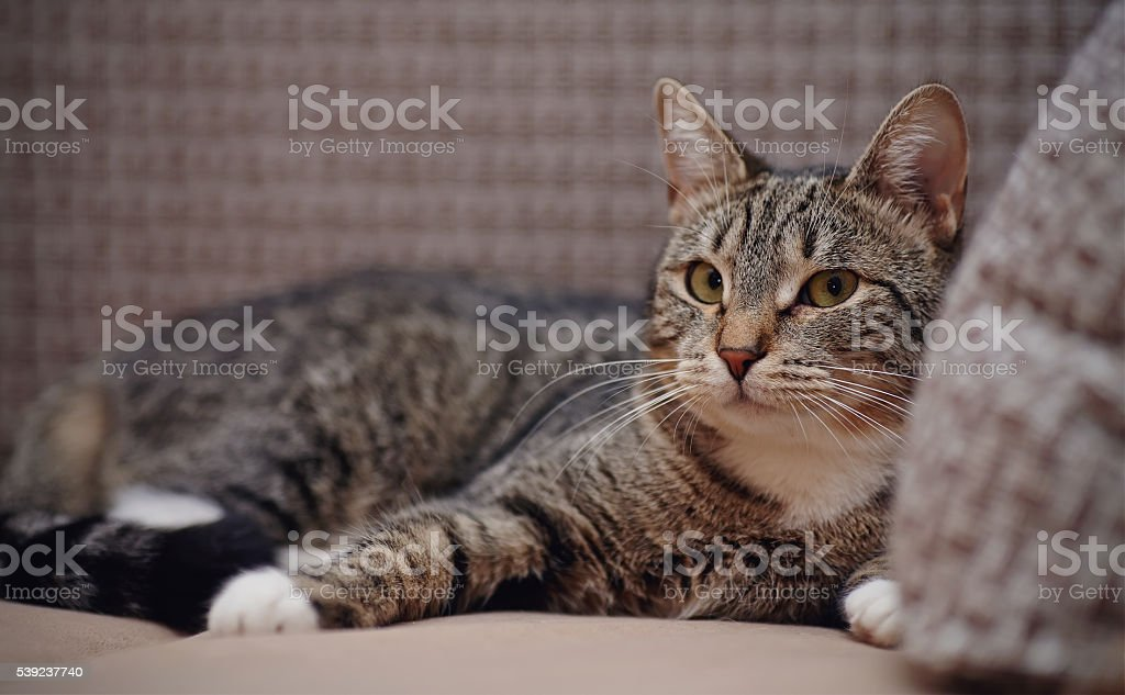 Striped cat with white paws royalty-free stock photo