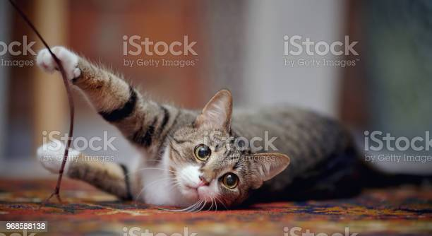 Striped cat with white paws plays on a carpet picture id968588138?b=1&k=6&m=968588138&s=612x612&h=mepzpsamm3w0jntdja0rw aoukswex8yaddd8ke4fg4=