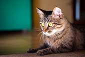 Striped cat with yellow eyes, closeup, beautiful home cat