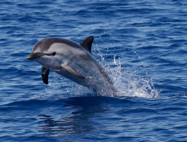 Striped Dolphin Jumping Striped dolphin is jumping out of the water in the Ligurian Sea in Italy cetacea stock pictures, royalty-free photos & images