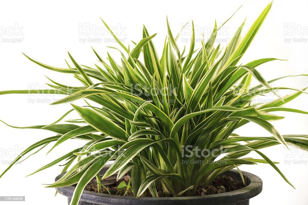 Striped Dracaena Plant stock photo
