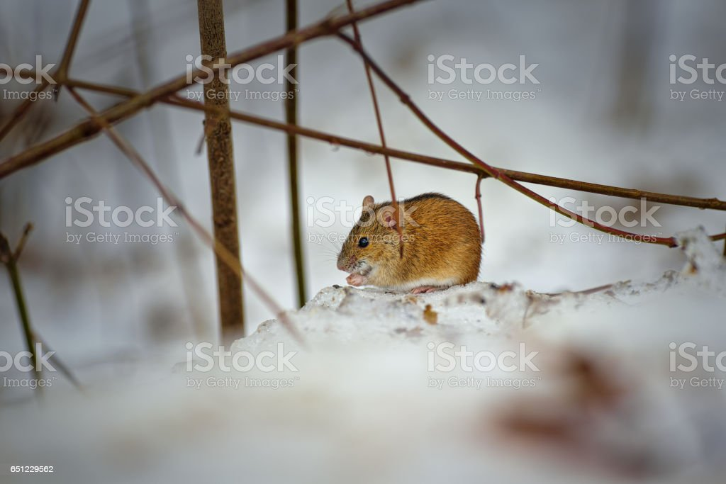 striped field mouse (Apodemus agrarius)