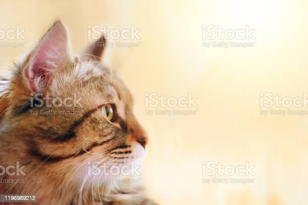 Striped fluffy cat picture id1196989212?b=1&k=6&m=1196989212&s=612x612&h=tgfgexstqwaidfhssjolprcxbkxeklofktw 82 ipr8=