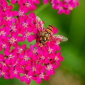 Striped fly looks like wasp - Hoverfly sitting on pink flower .