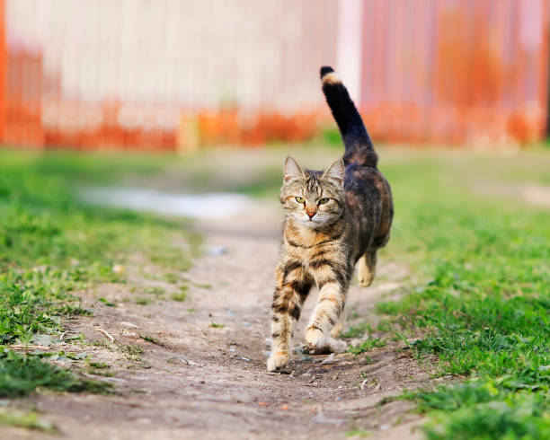 Striped funny cat quickly runs down the path a green meadow in summer picture id865635742?b=1&k=6&m=865635742&s=612x612&w=0&h=tydjw bg6xgzozcjojys s3zq1625olvxzpt4czs fc=
