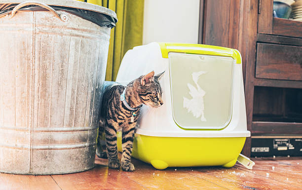 Striped grey tabby standing alongside a litter box stock photo