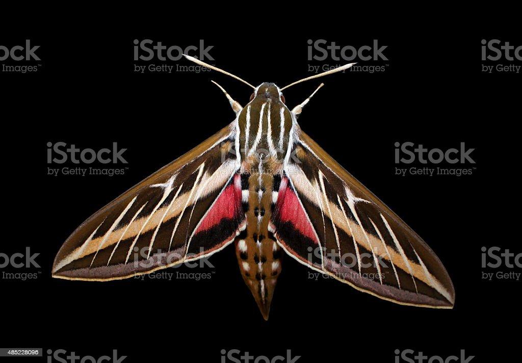 Striped Hawk-moth (Hyles livornica) stock photo