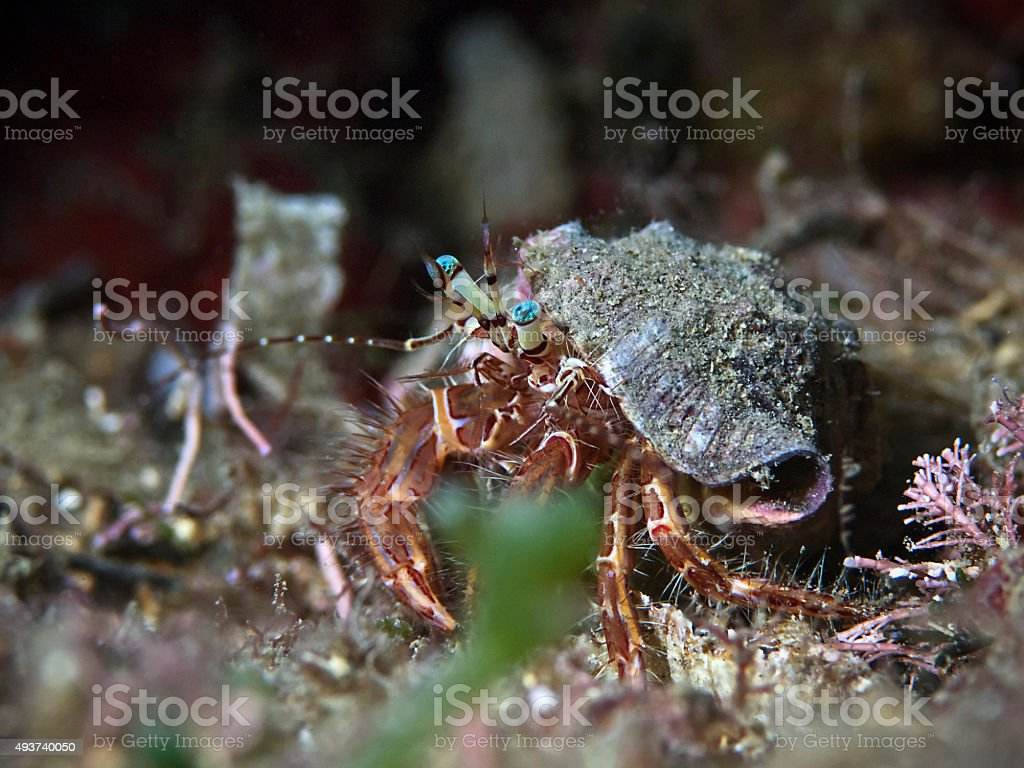Striped hermit crab, Gestreifter Felseneinsiedler (Pagurus anachoretus) stock photo