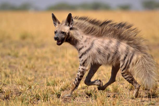 gestreepte hyena op een ochtend wandeling - hyena stockfoto's en -beelden