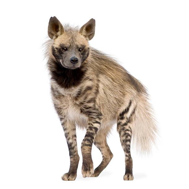 striped hyena - hyena stockfoto's en -beelden