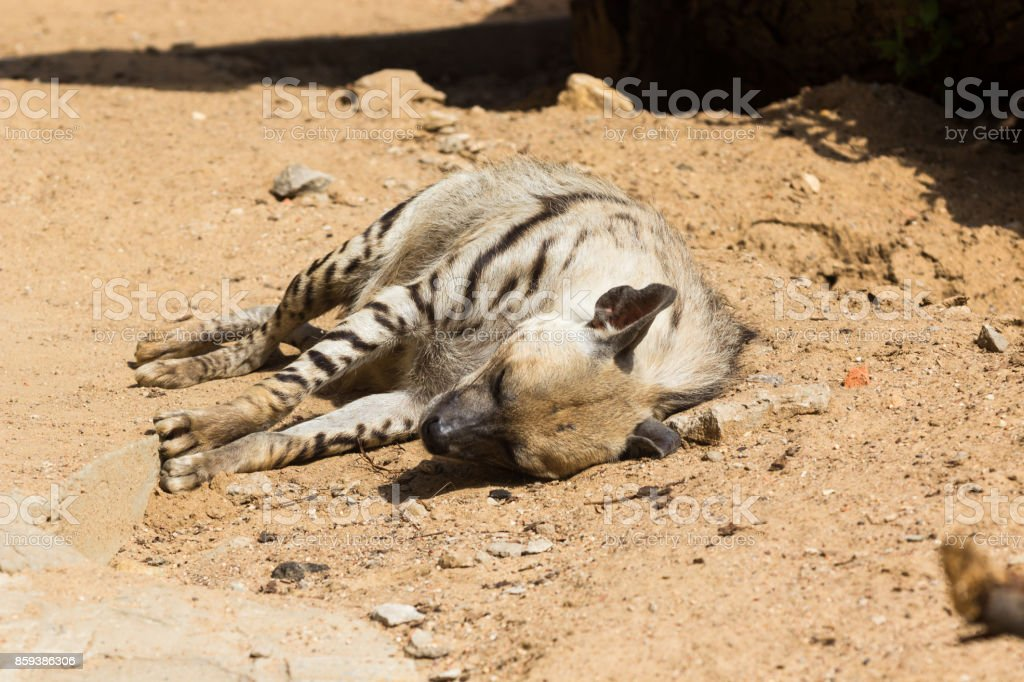 Striped hyena rest after night hunting stock photo