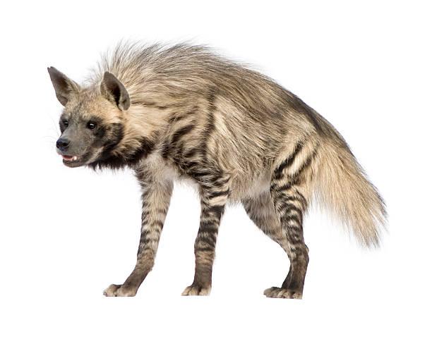a striped hyena standing and smiling - hyena stockfoto's en -beelden