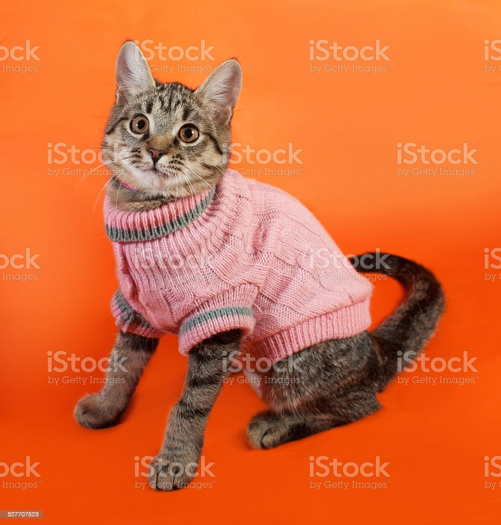 Striped kitten in pink sweater sitting on orange stock photo