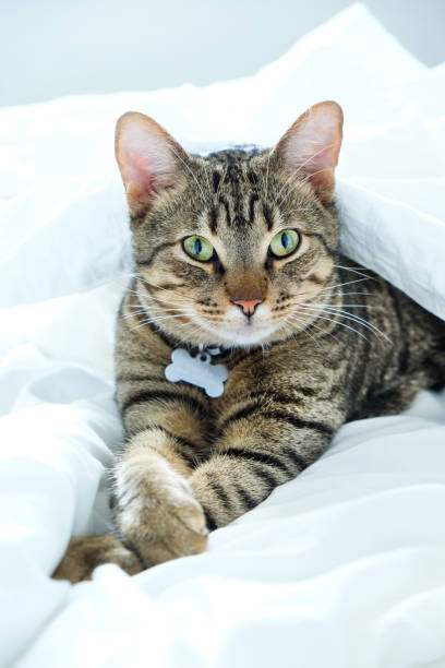 striped kitten lying inbetween white bed sheets with paws crossed stock photo