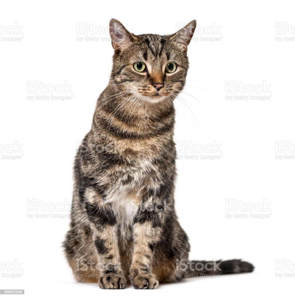 Striped mixed-breed cat sitting, isolated on white, (2 years old) stock photo