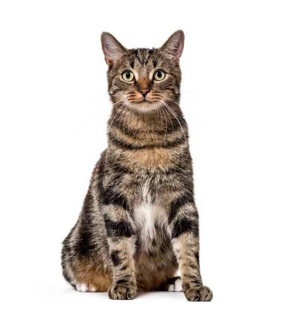 Striped mixedbreed cat sitting isolated on white picture id889522462?b=1&k=6&m=889522462&s=612x612&w=0&h=stapayxob ombjmdjkbvukm9ufvyoig ha6lt9 scy0=