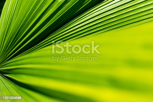 istock Striped of palm leaf. Abstract green texture. 1201304596