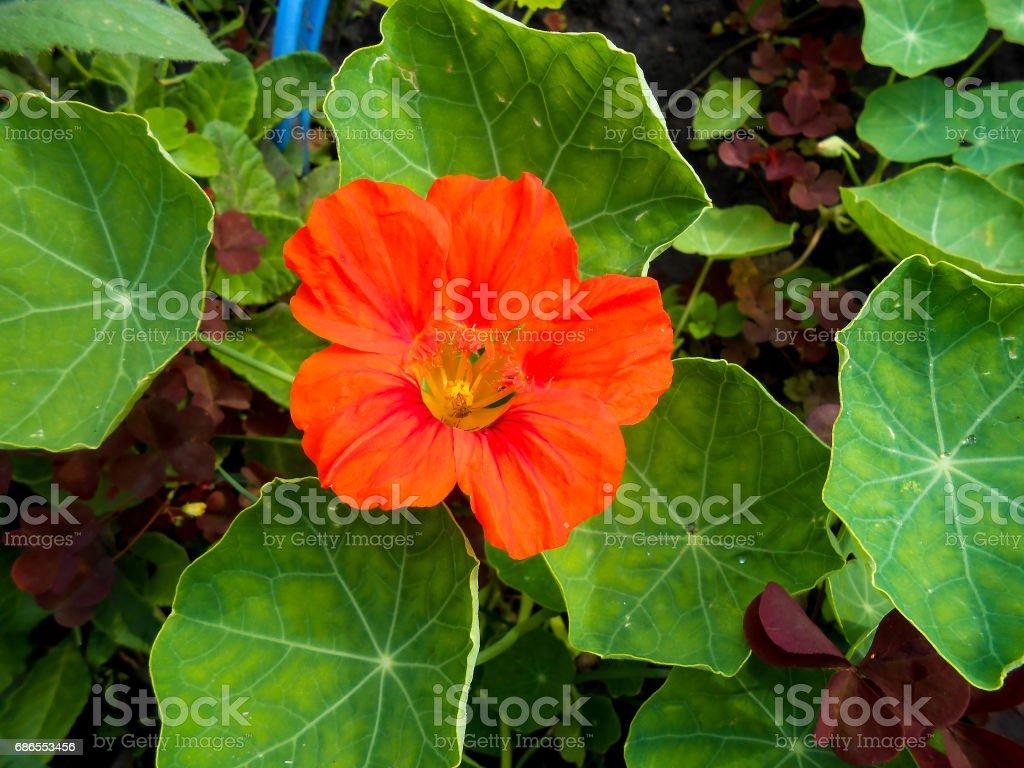 Striped orange large petunia in the garden zbiór zdjęć royalty-free