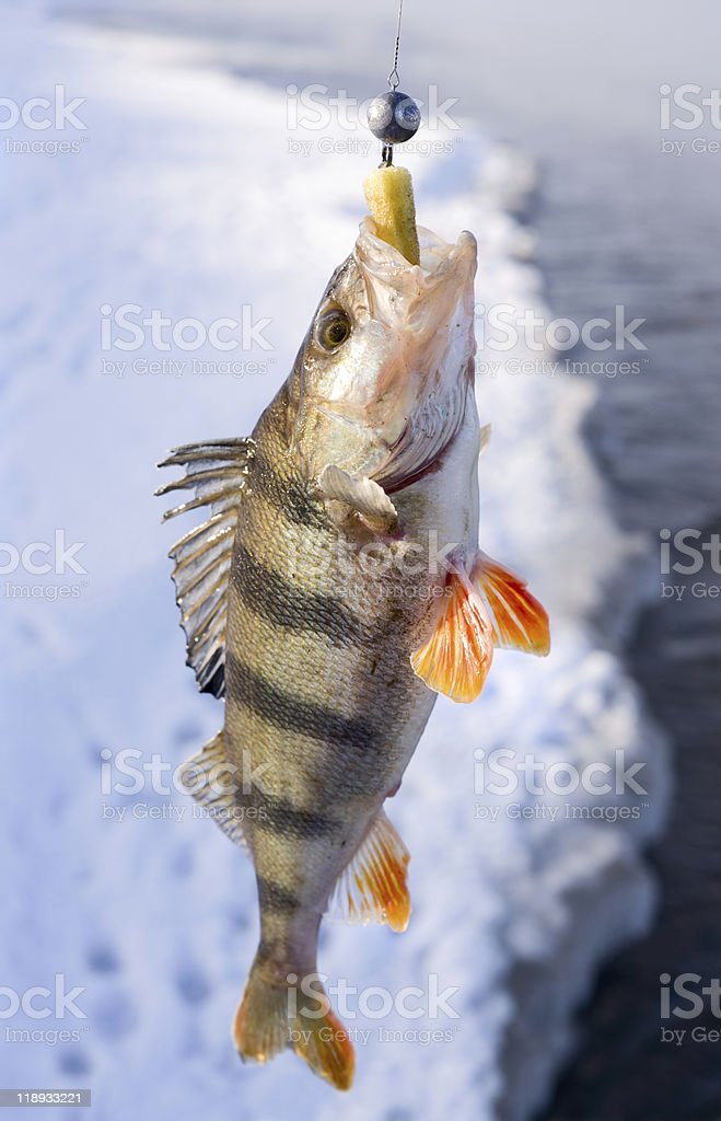 Striped perch royalty-free stock photo