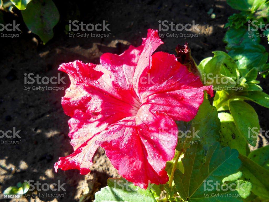 Rayé rose pétunia grand dans le jardin photo libre de droits