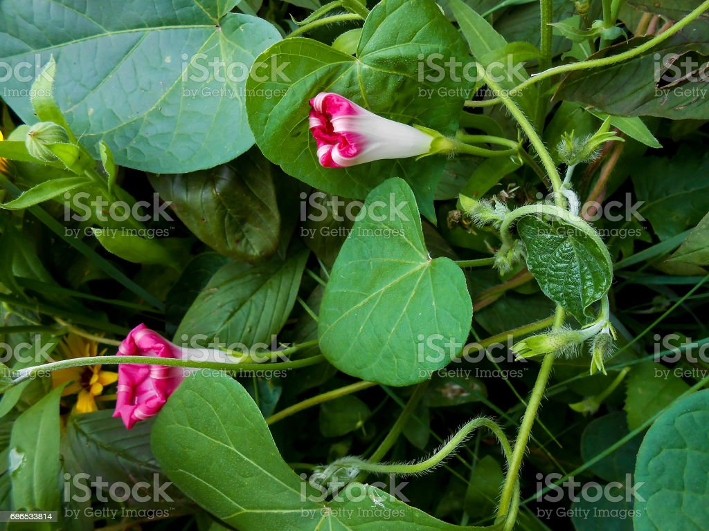 Striped pink large petunia in the garden foto stock royalty-free