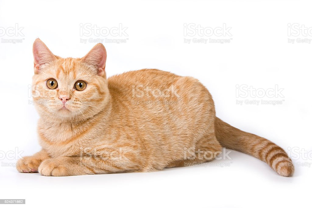Striped red british cat (isolated on white) stock photo